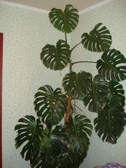 Комнатное растение - Монстера